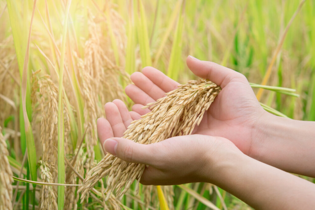 rice ready to be harvested image